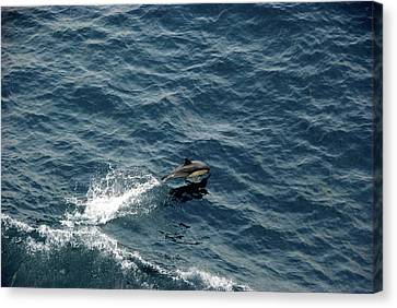 Dolphin Dive  Canvas Print