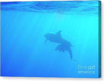 Dolphin Mother And Calf Canvas Print by Sami Sarkis