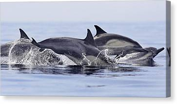 Dolphins At Play Canvas Print by Steve Munch