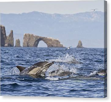 Dolphins With Arch Canvas Print by Will Edwards