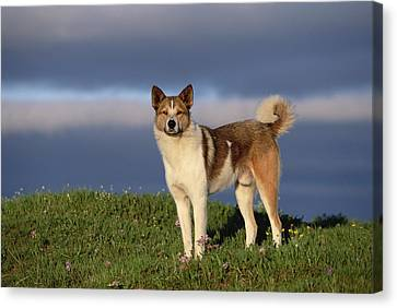 Domestic Dog Canis Familiaris, Taymyr Canvas Print by Konrad Wothe