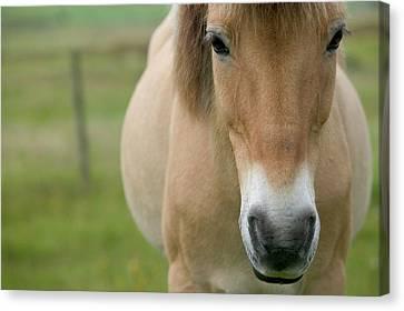 Domestic Horse Equus Caballus Portrait Canvas Print by Cyril Ruoso
