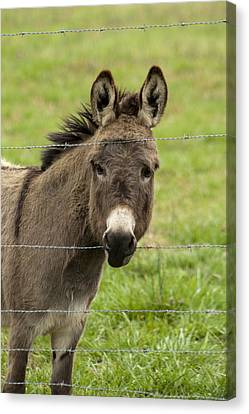 Donkey - The Beast Of Burden Canvas Print