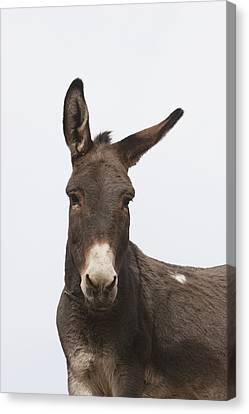 Donkey At The Hajigak Pass, Vardak Canvas Print by Peter Langer