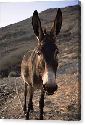 Donkey Canvas Print by Bjorn Svensson