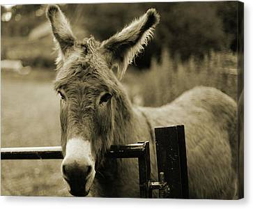Donkey Canvas Print by Dyker_the_horse_1976