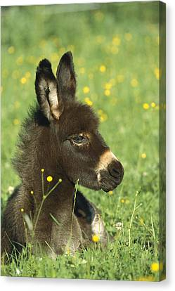 Donkey Equus Asinus Foal Resting Canvas Print by Konrad Wothe