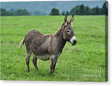 Donkey Canvas Print by John Greim