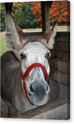 Donkey Looks Canvas Print by LeeAnn McLaneGoetz McLaneGoetzStudioLLCcom