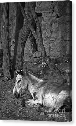 Donkey Smile Canvas Print by Nabucodonosor Perez