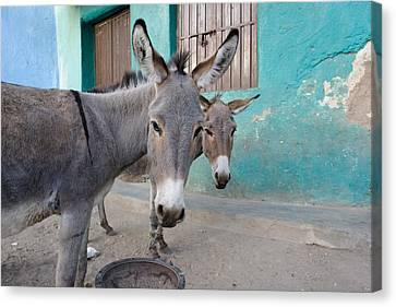 Donkeys, Harar, Ethiopia, Africa Canvas Print by David DuChemin