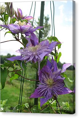 Double Clematis Named Crystal Fountain Canvas Print by J McCombie