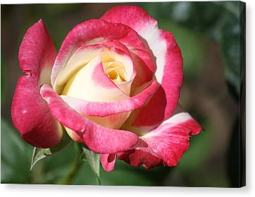 Double Delight Rose Canvas Print