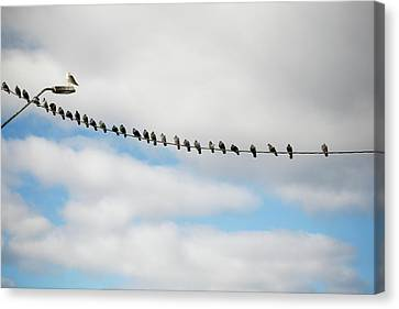 Doves In Line On Power Cord Canvas Print by Elin Enger