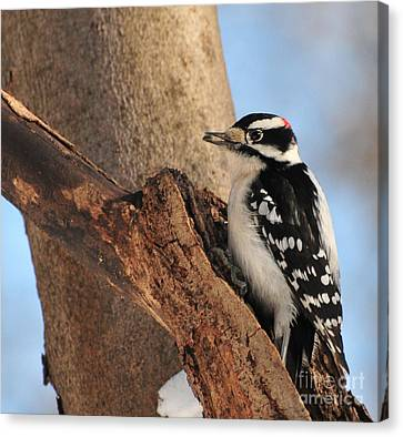Food In Mouth Canvas Print - Downey Woodpecker by Paul Ward