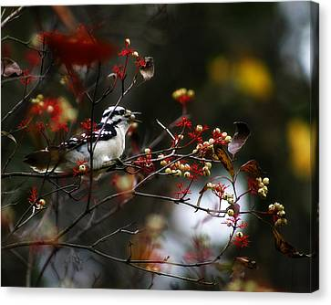 Downy Woodpecker And White Berries Canvas Print by Scott Hovind