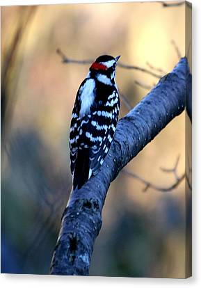 Canvas Print featuring the photograph Downy Woodpecker by Elizabeth Winter