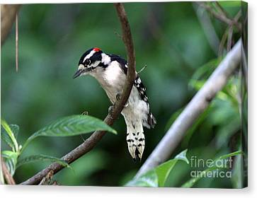 Downy Woodpecker Canvas Print by Jennifer Zelik