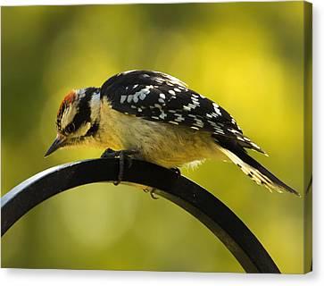 Downy Woodpecker Up Close 3 Canvas Print by Bill Tiepelman