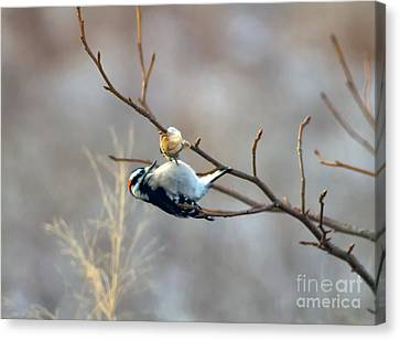 Downy Woodpecker Canvas Print by Ursula Lawrence