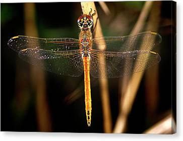 Canvas Print featuring the photograph Dragon Fly 1 by Pedro Cardona