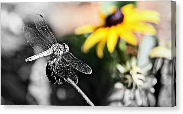 Dragon Fly And Yellow Black Eyed Susan Canvas Print by Tam Graff