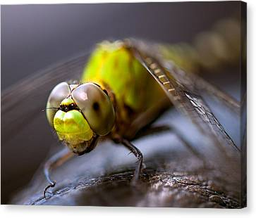 Canvas Print featuring the photograph Dragon-fly  by Anna Rumiantseva