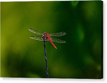 Dragon Fly At Rest Canvas Print by David Alexander