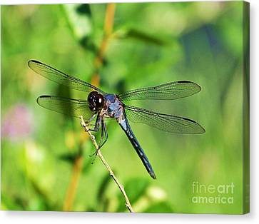 Canvas Print featuring the photograph Dragon Fly  by Eve Spring