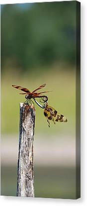 Dragon Fly Love Canvas Print by Kelly Rader
