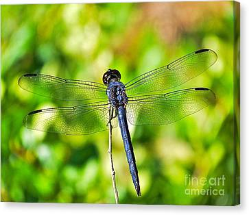Canvas Print featuring the photograph Dragon Fly Spread by Eve Spring
