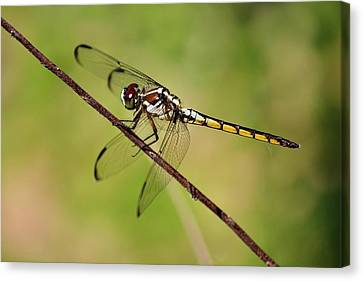 Dragonfly  Canvas Print by Alexander Spahn