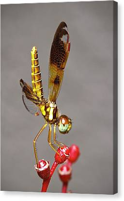 Dragonfly Dancer Canvas Print by Nick  Shirghio