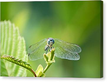 Dragonfly Face Canvas Print by Mary McAvoy