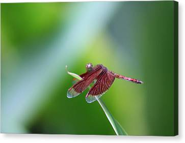 Dragonfly Canvas Print by Gonca Yengin