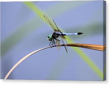 Dragonfly Canvas Print by Laura Oakman
