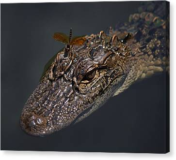 Dragonfly On A Alligators Head Canvas Print by Paulette Thomas