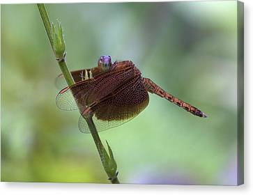 Dragonfly On A Leaf Canvas Print by Zoe Ferrie