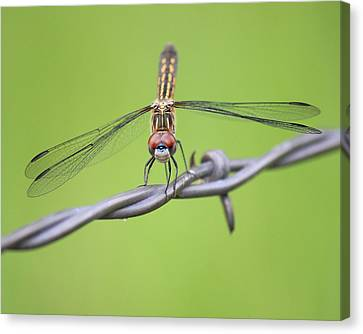 Canvas Print featuring the photograph Dragonfly On Barbed Wire by Penny Meyers