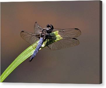 Dragonfly On Goose Feather Pond  - C2121b Canvas Print by Paul Lyndon Phillips