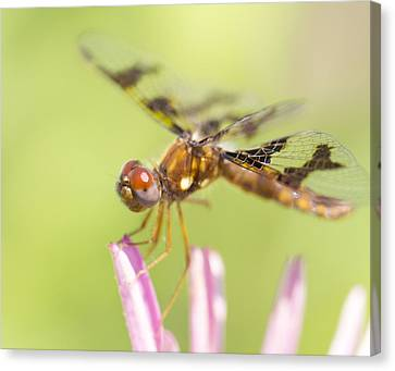 Dragonfly On Tip Of Cornflower Canvas Print by Daphne Sampson
