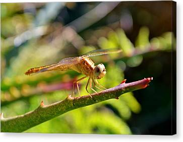 Canvas Print featuring the photograph Dragonfly by Werner Lehmann