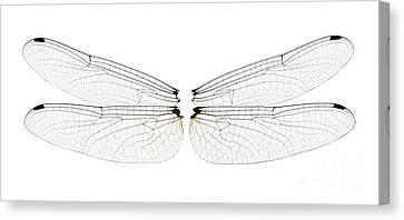 Dragonfly Wings Canvas Print by Raul Gonzalez Perez