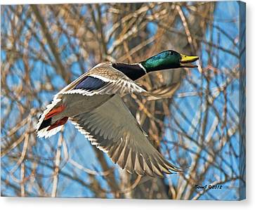 Canvas Print featuring the photograph Drake In Flight by Stephen  Johnson