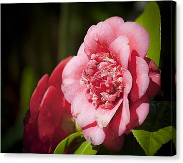 Camellia Canvas Print - Dreamy Camellia by Teresa Mucha