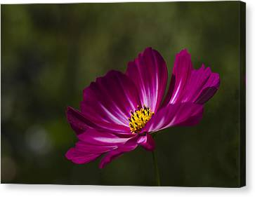 Dreamy Pink Cosmos Canvas Print by Clare Bambers