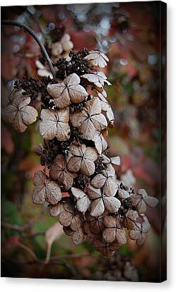Dried Bloom 2 Canvas Print by Beverly Hammond