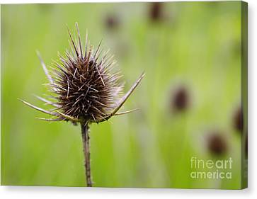 Dried Thistle Canvas Print