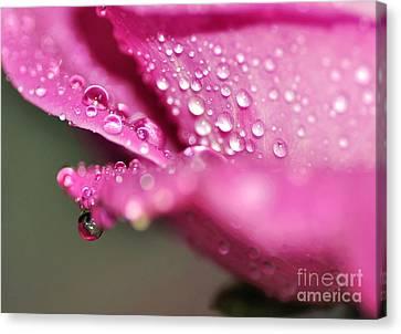 Droplet On Rose Petal Canvas Print