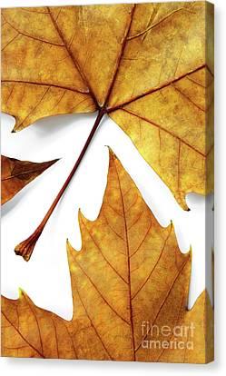 Maple Season Canvas Print - Dry Leafs by Carlos Caetano
